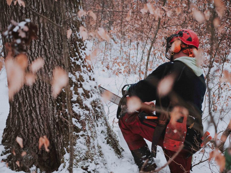 OPA ERWIN Mondholz schlagen einzelne Eiche im Winter-O-D-1